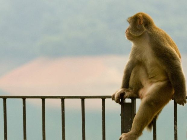 как в Индии ловят обезьян